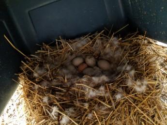 Anna's eggs.